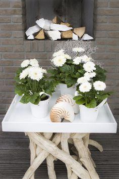 Sundayz® white presentation outdoor gerbera