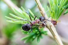 #Photogenix #Ant @iStock #istock #macro #new #ktr14 #highres #download #Austria #carinthia #closeup #stock #nature #spring #outdoor #small #Pins #bush