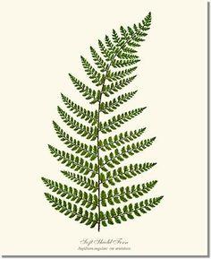 Soft Shield Fern   Charting Nature - Vintage Botanical, Fish and Wild Bird Art Prints