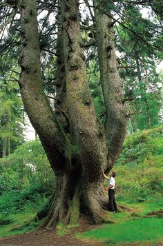 the ardkinglas silver fir, strathclyde - the mightiest conifer in europe