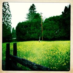 Mustard Field on Felta Road, Healdsburg, CA March 2012