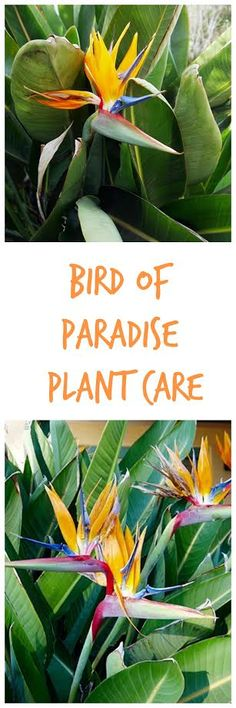 Bird Of Paradise Plant Care. An easily recognizable flower - long lasting on the plant or in an arrangement. Here's how to care for Bird Of Paradise outdoors & indoors. There's also a video guides you.