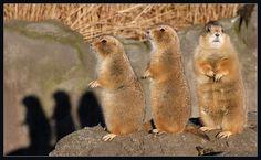 adorable prairie dogs