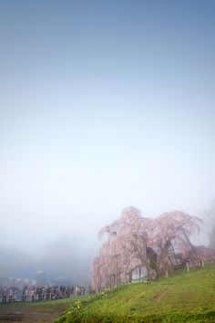 三春町・滝桜 / Cherry tree named the waterfall by u_ran2008, via Flickr