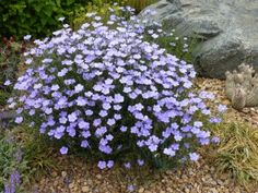 """Linum narbonense (flax)_Harriett McMillan or blue flax. height is 15-18"""" width 15-18"""" blooms june-september full sum to part shade."""