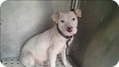 OUT OF TIMEBirmingham AL - American Pit Bull Terrier Mix. Meet Creel a dog for adoption.