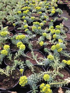 Euphorbia myrsinites 10cm