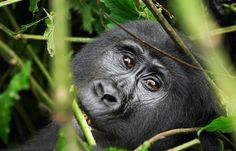 Female of eastern mountain gorilla in tropical forest of Uganda Poster Monkey Species, Gorilla Trekking, Mountain Gorilla, Wildlife Safari, Travel Companies, Adventure Tours, East Africa, Africa Travel, Luxury Travel