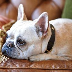 How To Take Perfect Pet Pictures Learn the secrets to taking beautiful pictures of your furry family members. Pet Dogs, Dogs And Puppies, Dog Cat, Chihuahua Dogs, Doggies, Small Dog Breeds, Small Dogs, French Bulldog Puppies, French Bulldogs