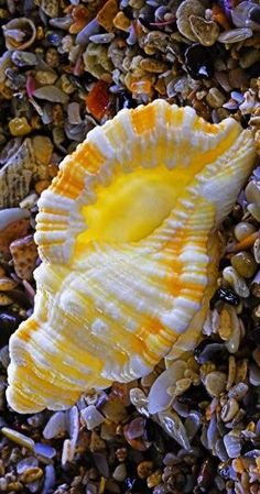 yellow treasures of the sea | sea shell