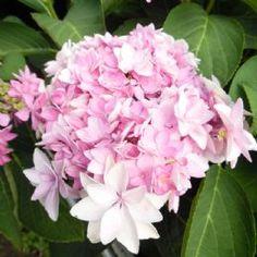 Hydrangea macrophylla Romance (You & Me Series) (H) - Pink
