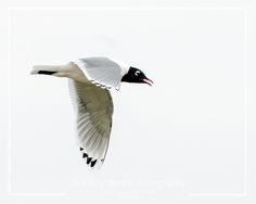 Franklin's Gull. Copyright © Shelley Banks, all rights reserved.