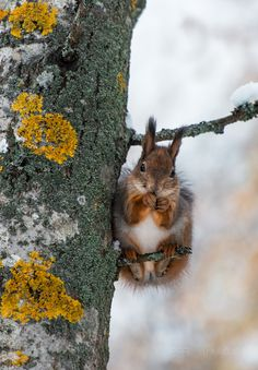 Red squirrel on a very tiny branch