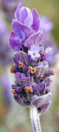 Lavender - Beautiful, one of my favorite plants for anxiety, plus it smells great, and you can cook with it!