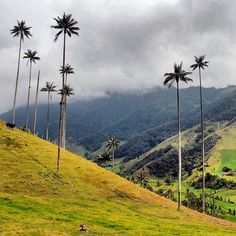 Often named as Colombia's most stunning landscape the Cocora Calley is indeed a special place. The Palmas de Cera the wax palm trees can be found only here and are the tallest palm trees in the world.. And Colombia's national tree! #beautifulcolombia #valledecocora #cocora #cocoravalley #waxpalms #palmadecera #palmtrees #quindio #quindío #quindiocolombia #colombia2016 #colombia #zonacafeteracolombia #ig_colombia #southamerica #discoversouthamerica #ig_southamerica #ig_naturesbest…