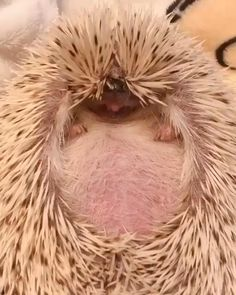 Cute Funny Animals, Funny Animal Pictures, Cute Baby Animals, Cute Pictures, Hedgehog Pet, Cute Hedgehog, Cute Gif, Funny Cute, Nature Animals