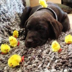 Happy Easter everyone .. From all us here at Labradors4life  by labradors4life