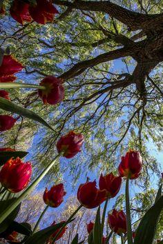 tulipnight:  TULIPS byEcevik
