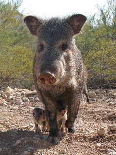 Javelina babies are so cute but the mamas and papas can be pretty aggressive! Beautiful Creatures, Animals Beautiful, Farm Animals, Cute Animals, Nature Animals, Wild Animals, Mundo Animal, All Gods Creatures, Mammals