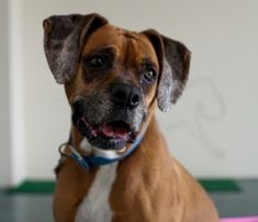 Orkid is an adoptable Boxer Dog in Reno, NV. Are you looking for a sweet, happy, easy-going little girl that loves EVERYONE? Meet our friend. Orkid. She is a wonderful dog, loving and playful. Orkid loves children & is very patient with them.  Don't let her age fool you, she is an active senior that would love a walk, a game of fetch or any other activity you could dream up for her.  Orkid is smart & currently in obedience training (yes, you can teach an old(er) dog new tricks as...
