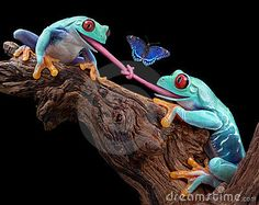 Two red-eyed tree frogs were trying to eat the same butterfly and became tongue-tied.
