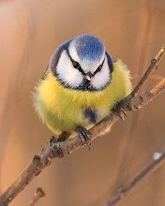 This lovely bluetit is here to represent the gorgeous Bernadette Manning print that sits on my windowsill. All Birds, Little Birds, Birds Of Prey, Love Birds, Most Beautiful Birds, Pretty Birds, Tropical Birds, Colorful Birds, British Garden