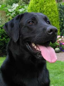 Mind Blowing Facts About Labrador Retrievers And Ideas. Amazing Facts About Labrador Retrievers And Ideas. Black Labs Dogs, Black Lab Puppies, Dogs And Puppies, Doggies, Labrador Retrievers, Black Labrador Retriever, Golden Labrador, Retriever Puppies, Labrador Puppies