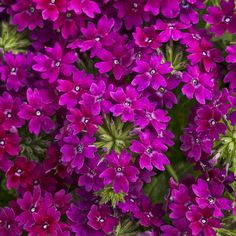 """SUPERBENA® ROYALE PLUM WINE (Verbena hybrid).  New  2014 addition to the Royale series features reddish-purple blooms.  Vigors early blooming verbena.  Attracts butterflies. 8-12"""" height, 12-24"""" spread. Use in containers, as monos or in combos.  Full Sun. http://emfl.us/8NGd"""