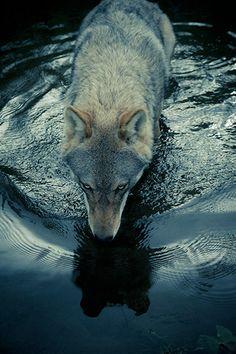 tocar un lobo.. algun dia