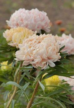 Callistephus chinensis, Sommaraster Duchesse Delicate Pink