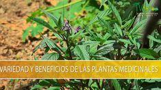 Variedades y Beneficios de las Plantas Medicinales - TvAgro por Juan Gon... Herbal Medicine, Herbalism, Cancer, Remedies, Healing, Herbs, Youtube, Nature, Plants