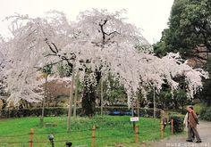 The power of a lone Cherry Tree - Maruyama Park, Kyoto, Japan