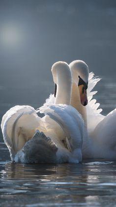 About Wild Animals: Graceful swan love pair Swan Love, Beautiful Swan, Beautiful Birds, Animals Beautiful, Nature Animals, Animals And Pets, Cute Animals, Pretty Birds, Love Birds