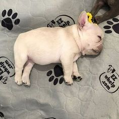 The major breeds of bulldogs are English bulldog, American bulldog, and French bulldog. The bulldog has a broad shoulder which matches with the head. Cute Baby Animals, Animals And Pets, Funny Animals, Cute Puppies, Cute Dogs, Dogs And Puppies, Doggies, Corgi Puppies, Funny Dogs