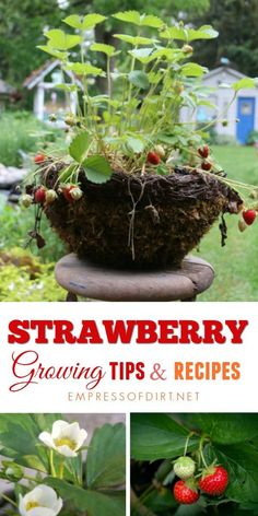 20 creative and frugal growing tips, container ideas, and recipes for strawberries you can grow in your garden. Check out these tips from top garden bloggers. #gardening #growingtips #strawberries #gardenideas #empressofdirt