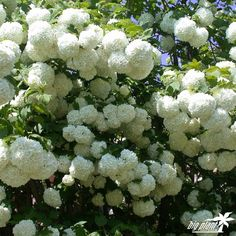 Buy Viburnum opulus 'Roseum' (Snowball Tree) Perfect for Pollinating Insects - from Big Plant Nursery Trees And Shrubs, Flowering Trees, Snowball Plant, Viburnum Opulus Roseum, Sutton Seeds, In Natura, Big Plants, Moon Garden, Garden Shrubs
