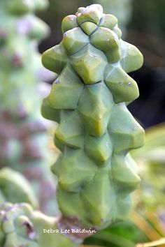 Recently at his nursery in Fallbrook, CA, succulent expert Don Newcomer showed me a rare columnar, spineless cactus from Mexico. It can be chubby and lumpy Unusual Plants, Rare Plants, Exotic Plants, Cool Plants, Tropical Plants, Succulents In Containers, Cacti And Succulents, Planting Succulents, Planting Flowers