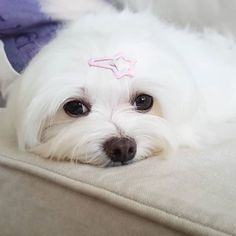 Friday would be here sooner if I take a longer nap , wouldn't it?? . #Maltese #Maltesedog #malteseofinsta #malteseofinstagram #cute #white #maltesenation #Maltese101 #dog #puppy #maltesepuppy #maltesepuppies #minimaltese #miniatureMaltese #cutedog #instadog #dogsofinsta #bestwoof #ilovemydog #instapup #petscorner #malteseofficial #maltesefamily #dogoftheday