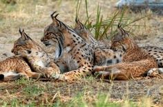 Iberian Lynx, Cat Species, American Animals, Caracal, Cat 2, Exotic Pets, Big Cats, All Pictures, Rudolf Steiner