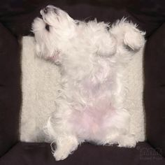 Since the first day I came to our family, I slept in this pose! I am almost 6 years old now.. I can still be myself ✌️ #sleepy #bemyself #sleepingbeauty #arodwang #maltese