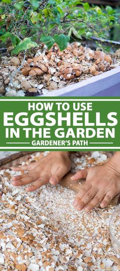 Want to use eggshells in your garden soil and compost, or to repel garden pests? More importantly, do these DIY tricks work? Read more on Gardener's Path. Egg Shells In Garden, Home Vegetable Garden, Fruit Garden, Garden Pests, Garden Fertilizers, Growing Vegetables, Lawn And Garden, Gardening Tips, Garden Landscaping