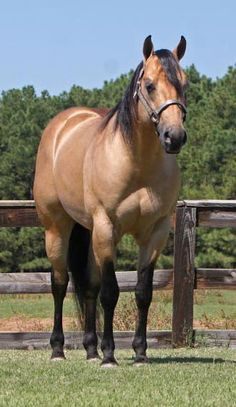 Quarter horse named Miss And Gun - from Penncross Ranch