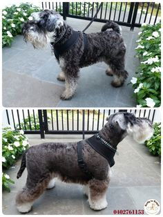 I love grooming Schnauzers    . Today Ratty to Regal was visited by Kendrick a 2 years young Miniature Schnauzer  Kendrick is a very sweet, well-behaved and handsome boy! Full Groom. Website: https://rattytoregal.wixsite.com/rattytoregal Facebook: https://www.facebook.com/rattytoregal/