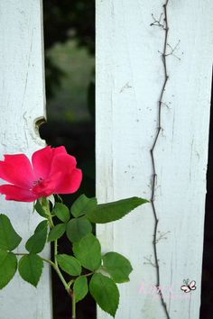 Pink flower by a picket fence