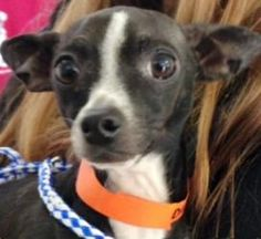 Dash is an adoptable Chihuahua Dog in Calverton, NY. Meet Dash! This black and white chihuahua mix is about two years old. He doesn't know why anyone would have left him in a crowded shelter in LA but...