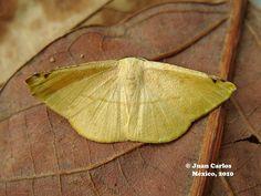 Geometridae.