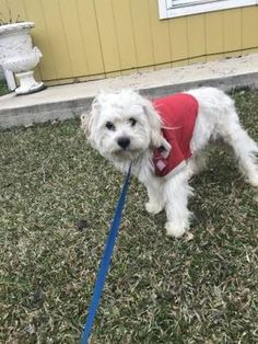 Fort Worth Tx Maltese Meet 43581630 A Pet For Adoption In