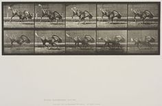 Eadweard Muybridge (American, b. England, 1830-1904)  Plate 702 from Animal Locomotion, 1887  Gnu bucking and galloping.   Collotype on paper, 15-15/16 x 20 in.   Gift of Mrs. Jill Tane.  1994.8.35