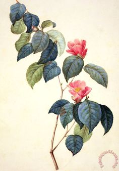 Pierre Joseph Redoute Camellia Japonica print for sale. Shop for Pierre Joseph Redoute Camellia Japonica painting and frame at discount price, ships in 24 hours. Cheap price prints end soon. Illustration Blume, Coffee Illustration, Vintage Botanical Prints, Botanical Drawings, Botanical Flowers, Botanical Art, Nature Prints, Art Prints, Camellia Japonica