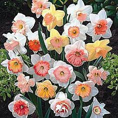 hybridizer-s-pink-daffodil-mixture